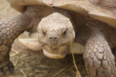 Die Schildkröte Lizenzfreies Stockbild
