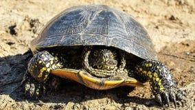 Die Schildkröte Lizenzfreies Stockfoto