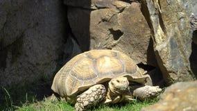 Die Schildkröte bewegt sich dort stock video