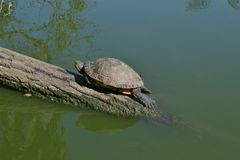 Die Schildkröte ist auf einem Klotz Lizenzfreie Stockfotos