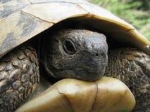 Die Schildkröte in seinem Haus Lizenzfreie Stockfotos