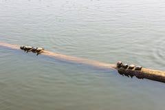 Die Schildkröten auf meldet das Wasser an lizenzfreies stockbild