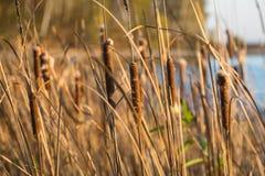 Die Schilfe in der untergehenden Sonne lizenzfreie stockfotos