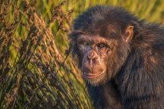 Die Schimpansen Stockbild