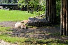 Die schlafende Familie von Capybaras auf dem Gras am sonnigen Tag Lizenzfreies Stockfoto