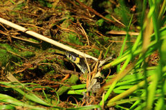 Die Schlange schaut den Bereich des Nerzes Stockfotos