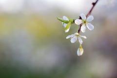Die Schlehdornblüten Stockbild