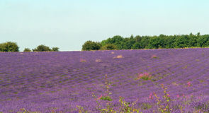 Die Schleife des Lavendels Stockfoto