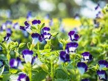 Die Schmetterlingserbsenblüte im Garten Lizenzfreie Stockfotos