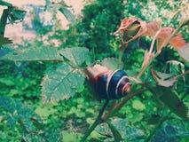 Die Schnecke sitzt auf dem Rosenbusch lizenzfreies stockbild