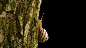 Die Schnecke verschiebt sich auf einem Baum stock video footage
