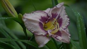 Die Schnecke versteckte sich in den Daylilies vom Regen stock footage