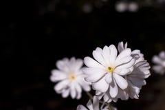 Die schneeweiße Magnolie in der dunklen Welt stockbild