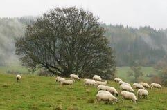die schottischen Schafe Lizenzfreie Stockfotografie