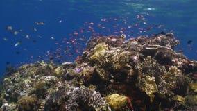 Die Schule von bunten Fischen auf dem Riff im Ozean stock video footage