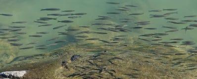 Die Schulungsfische in den Azoren von Portugal stockfotos
