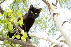 Die schwarze Katze sitzt auf einer Birke Stockbild