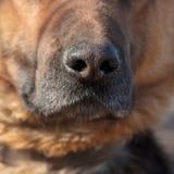 Die schwarze Nase eines Hundes Stockbild