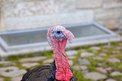Die schwarze Türkei auf einem Bauernhof stockfotos