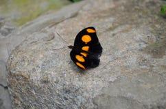 Die schwarze und orange Schönheit Stockfotografie