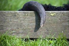 Die schwarzen erhaltenen Schafe fingen Hupen des Zauns ab. Lizenzfreie Stockbilder