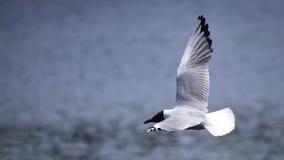 Die schwarzköpfige Möve fliegt über den See stockbilder