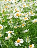 Die Schweiz-Blume lizenzfreie stockfotos