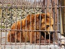die Schwere des Lebens in der Gefangenschaft in einem Bären des flüchtigen Blickes Lizenzfreies Stockbild