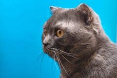 Die Scottish gefaltete Katze schaut interessiert mit gelben Augen Kopf auf einem blauen Hintergrund lizenzfreie stockbilder