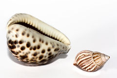 Die Seashells Lizenzfreies Stockbild