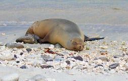 Die Seelöwen, die auf den Galapagos-Inseln schlafen, setzt auf den Strand stockbild