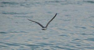 Die Seemöwe, die über den Ozean fliegt Stockbilder