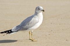 Die Seemöwe auf dem Strand Lizenzfreie Stockfotografie