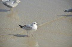 Die Seemöwe auf dem Strand Lizenzfreies Stockfoto