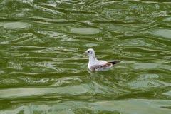 Die Seemöwe, betrügen im Flug stockfotos