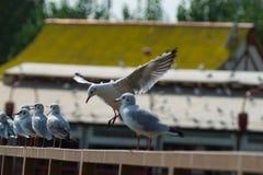 Die Seemöwe, betrügen im Flug Lizenzfreie Stockbilder