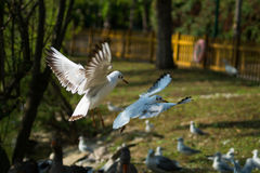Die Seemöwe, betrügen im Flug stockfoto
