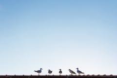 Die Seemöwen, die auf dem Dach stehen und hören auf den Führer Lizenzfreie Stockbilder