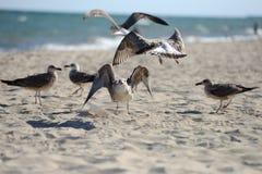 Die Seemöwen, die kämpfen, um etwas von einem Plastikkasten zu essen, verließen durch PU Lizenzfreie Stockfotos