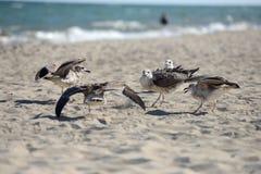 Die Seemöwen, die kämpfen, um etwas von einem Plastikkasten zu essen, verließen durch PU Stockfoto