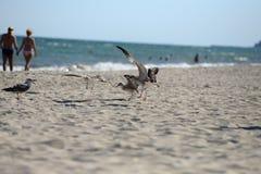 Die Seemöwen, die kämpfen, um etwas von einem Plastikkasten zu essen, verließen durch PU Stockfotos