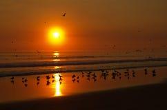 Die Seemöwen, die am Strand spielen, wässern vor einem orange Sonnenuntergang Stockfotos