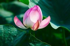 Die Seerose und die Blätter Stockfoto