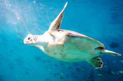 Die Seeschildkröte Stockfoto