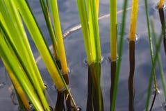 Die Segge im Wasser Stockbilder