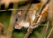 Die seltene Bambus-Ratte Stockbild