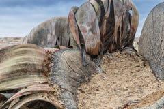 Die seltene Pflanze, die als Welwitschia Mirabilis, extrem selten bekannt ist, gilt als ein lebendes Fossil Wüste, Afrika, Namibe lizenzfreie stockfotos