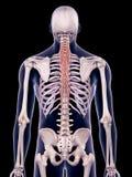 Die semispinalis Brust- stock abbildung