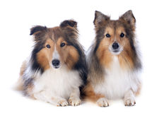 Die Shetlandinseln-Hunde lizenzfreie stockbilder