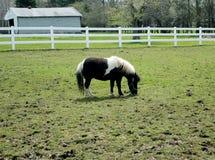 Die Shetlandinseln-Pony Lizenzfreie Stockbilder